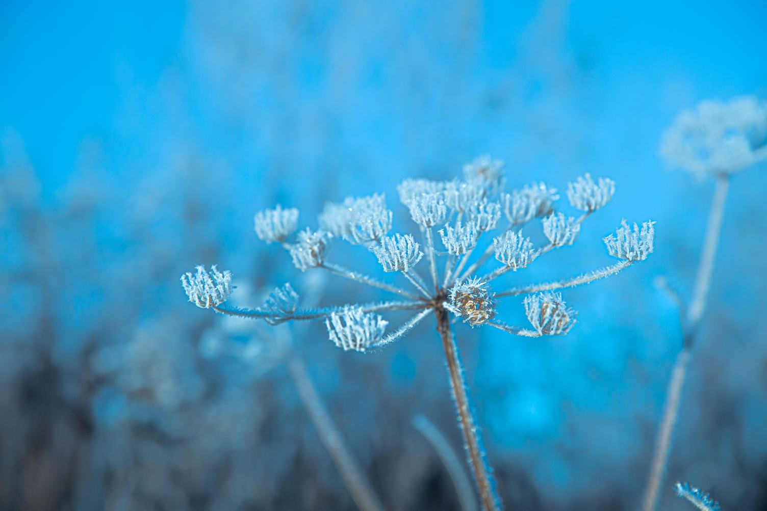 Close up of Frozen Umbellate Plant
