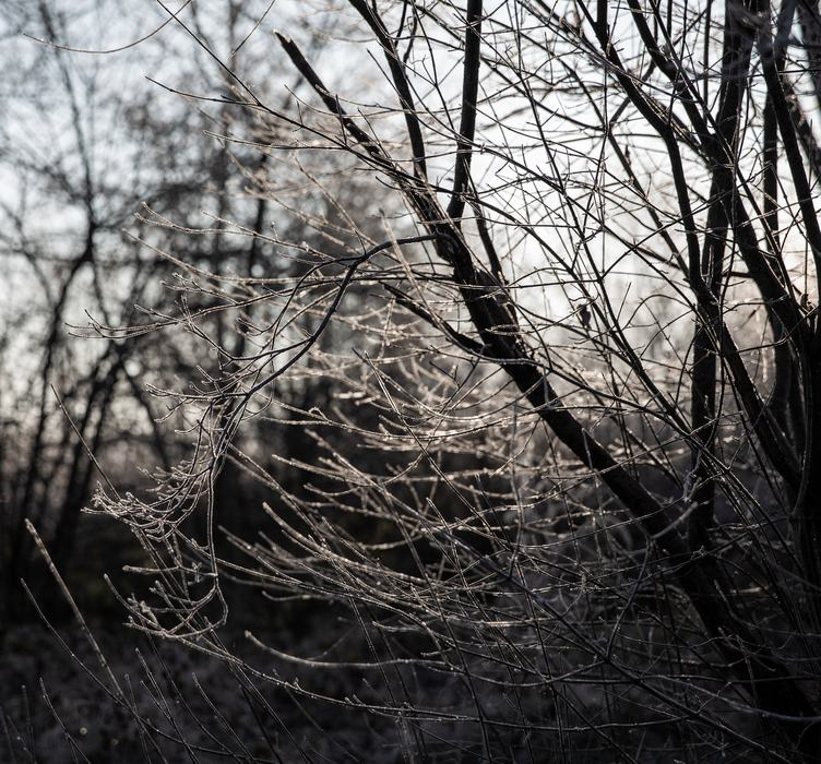 Thin Frosted Branches of the Bush