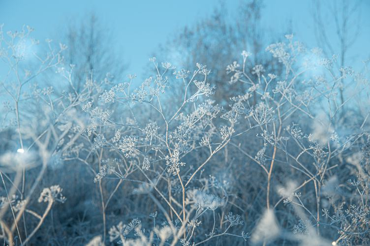 Frosted Umbellate Plants