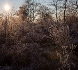 Frosted Plants against the Sun