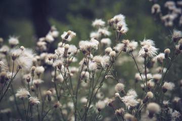 Cirsium Arvense Outdoors