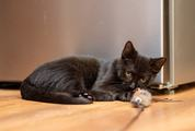 Little Black Cat with a Toy
